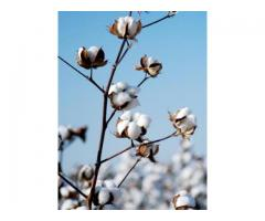 CBSE : Class Vi : Science : Chapter 3: Fibre to Fabric : Explain how cotton is obtained from cotton plant ?