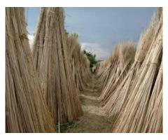 CBSE : Class Vi : Science : Chapter 3: Fibre to Fabric : Explain how jute is obtainrd from the jute plants ?