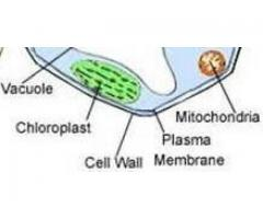 CBSE : Class IX : Science : Chapter 5: Fundamental Unit Of Life --- What is a cell wall and write its function ?