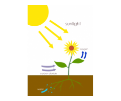 CBSE : Class X : Chapter 6 : Life Process : Draw and explain photosynthetic mode of nutrition.